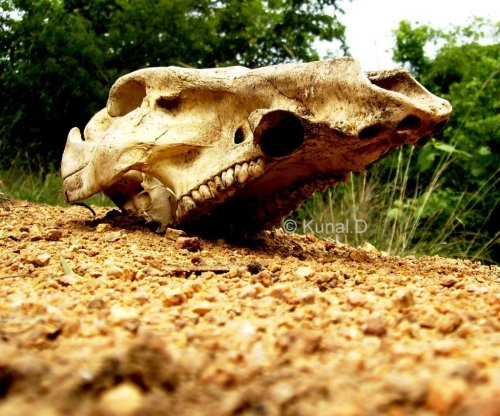 Skull of a cow/buffalo that we came across while trekking